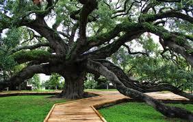 Treaty-Oak